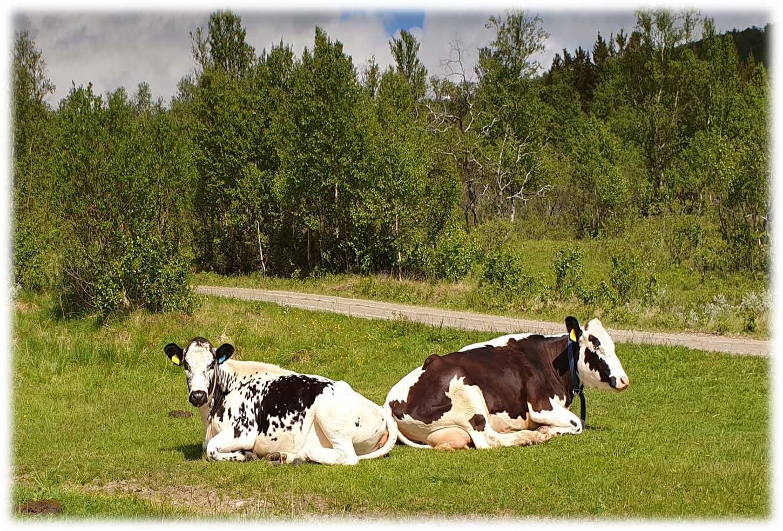 To kyr tygger drøv -landbruksnytt